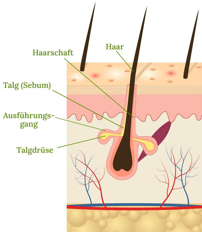 Hautquerschnitt