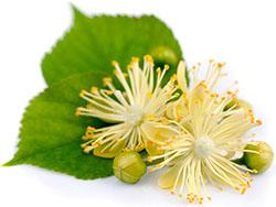 Lindenblütenextrakt