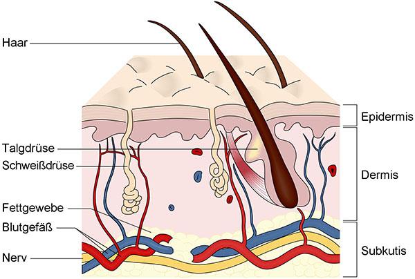 Querschnitt der Haut